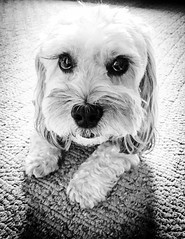 The Look (PEEJ0E) Tags: sad boy cute eyelashes eyes bw white black rescue mutt dog maltese rusty