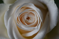 DSC_0937 (PeaTJay) Tags: nikond750 sigma reading lowerearley berkshire macro micro closeups gardens indoors nature flora fauna plants flowers bouquet rose roses rosebuds