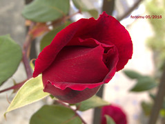 Ronda 21 Jardín de Casa de Don Bosco (ferlomu) Tags: ferlomu flor flower málaga ronda rosa
