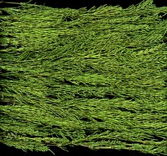 59080.01 Equisetum arvense (horticultural art) Tags: horticulturalart equisetumarvense equisetum horsetail fern ancientplant green
