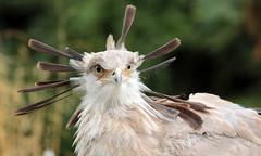 secretary bird Blijdorp JN6A6900 (j.a.kok) Tags: bird secretarisvogel secretarybird vogel animal africa afrika blijdorp