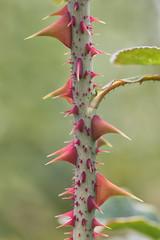 thorny (Francis Mansell) Tags: thorn prickle rose bush stem plant kew kewgardens royalbotanicgardenskew macro rosa branch
