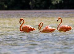 Three Amigos Flamingos (backyardzoo) Tags: american bird delta flamingo yucatan sulp