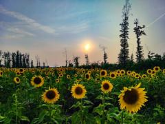 Sunflower Fields Forever (michaelwalker19) Tags:
