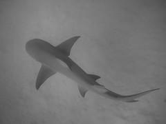 DSC02210 (Julien Dalle) Tags: blanc camouflage carmouflage citron cérate danseuse dessus fond gris limace mer moorea nage noir océan petit plongée requin rouge sable sauvage silhouette sousmarin