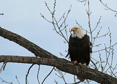 Bald Eagle...#1 (Guy Lichter Photography - 4.2M views Thank you) Tags: baldeagle canon 5d3 canada manitoba whiteshellprovincialpark wildlife animal animals bird birds eagle eagles