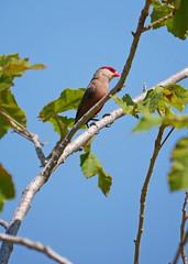 Waxbill (Matt C68) Tags: albufeira portugal estrildaastrild waxbill wax bill bird tree nature