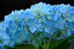 (WendieLarson) Tags: wickedhair wendielou wendielarson flower fleurs flowers d7000 bloom blue green garden california color nikon nature petals white 40mm aperature