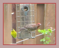 Purple & Gold Finch Visiting (bigbrowneyez) Tags: finches feathers wings pretty fabulous 2birds sweet fun interesting striking delightful amazing mygarden miogiardino nature natura seeds feeder lovely beautiful dof fence wood belli bellissimi foto uccelli frame cornice purplegoldfinchvisiting