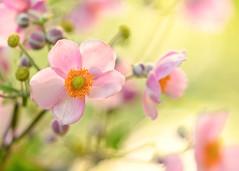 Japanese Anemones (mclcbooks) Tags: flower flowers floral japaneseanemones denverbotanicgardens colorado
