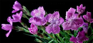 Wild Clove P9051776