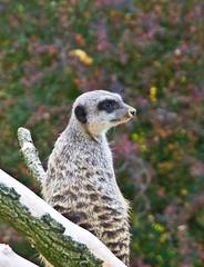 Ausguck / Crow's nest (schreibtnix on 'n off) Tags: deutschland germany köln cologne zoo tiere animals säugetiere mangusten erdmännchen meercat suricatasuricatta nahaufnahme closeup ausguck crowsnest olympuse5 schreibtnix