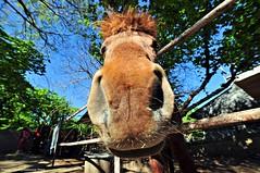 Il grande naso 1 - Big nose 1 - Gran nariz 1 (Dedalomouse Photos) Tags: cavalli horses caballos italia italy lagodivico animali animales animals colore color colors tommaso tommasoolmeda travel olmeda dedalomouse