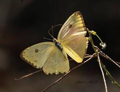 Azufre Inmaculada [Phoebis sennae sennae (Linnaeus, 1758)] Especimen hembra. (Francisco Alba Suriel) Tags: azufreinmaculadaphoebissennaesennaelinnaeus 1758especimenhembra senna phoebis thecloudlesssulphurorcloudlessgiantsulphurpieridaecoliadinaelasubespeciesennaesendémicadelasantillas eselpieridomasampliamentedistribuidoennuestraislalaespañolaytambienelmascomúnvistadorsal muydificilpoderlograrestatomaenunindividuo yaquesiempreseposanconlasalascerradasriosanatehigueyrepdominicana the cloudless sulphur or giant pieridae coliadinae subespeciesenna endémica antillas pierido ampliamentedistribuido nuestra isla laespañola común vistadorsal dificil lograr esta alas riosanate higuey repdominicana lepidoptero mariposa grande insecto bosque rio hierba flores hispaniola antillasmayores caribe america