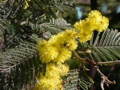 Acacia dealbata Silver wattle