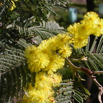 "Acacia dealbata Silver wattle <a style=""margin-left:10px; font-size:0.8em;"" href=""http://www.flickr.com/photos/61627737@N03/43620104725/"" target=""_blank"">@flickr</a>"