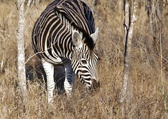Burchell's zebra (Equus quagga burchellii) (Susan Roehl) Tags: •southafrica2011 krugernationalpark southafrica burchellszebra equusquaggaburchellii animal mammal herbivore femalesmalessamesize yeararoundproduction sueroehl photographictours naturalhabitatadventures pentaxk7 sigma150500mmlens cropped grass tree coth5 ngc npc