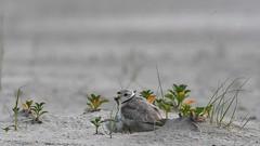 Piping plover (suraj.ramamurthy) Tags: nikkor500mm nikond500 longislandbeaches