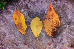 Autumn (frederic.gombert) Tags: light color colors sun autumn leaf leaves tree summer macro flower cherry
