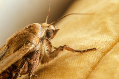 The moth next to my bed... :-) (tuvidaloca) Tags: dof vistadecerca estudio desenfoqueparcial desenfoque insekt insecto uncropped nahaufnahme indirectflash indirekterblitz studie mischlicht mixedlighting bokehextreme macro study 11 bokeh makro closeup unbeschnitten primerplano insect