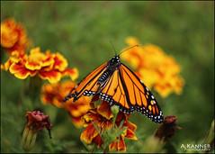 My Monarchs... (angelakanner) Tags: canon70d carl zeiss monarch garden longisland marigold orangeblack closeup bokeh