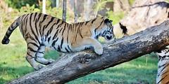 Tiger (Hugo von Schreck) Tags: hugovonschreck tiger cat katze fantasticnature tamronsp150600mmf563divcusda011 canoneos5dsr