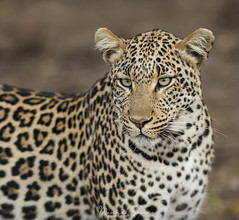 Leopard, Leopardo (Panthera pardus) (Manuel G.S.) Tags: sudáfrica nationalpark kruger photography pardus panthera leopardo leopard manuelgómezsánchez manoleison wildlife