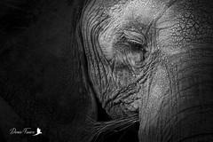 Éléphant d'Afrique (denisfaure973) Tags: mps elephant masaimara