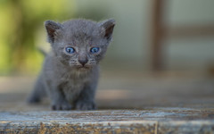 kittens II (09) (Vlado Ferenčić) Tags: kitty kittens vladoferencic dof animals vladimirferencic animalplanet catsdogs cats zagorje hrvatska croatia nikond600 tamron9028
