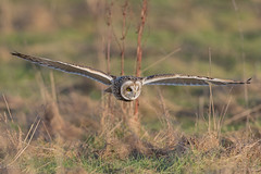 Sumpfohreule / Short-Eared Owl (eric-d at gmx.net) Tags: sumpfohreule shortearedowl asioflammeus eule owl strigidae eric