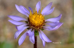 (WendieLarson) Tags: wickedhair wendielou wildflower wildflowers wendielarson flower fleurs flowers fiori flora d7000 d3100 sierranevada sequoianationalpark summer california color bloom blue blossom nikon nature nationalparks mountains macro meadow bigmeadows landscape landscapes aperature petals purple outside plant 40mm