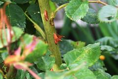 DSC_1587 (PeaTJay) Tags: nikond750 sigma reading lowerearley berkshire macro micro closeups gardens outdoors nature flora fauna plants flowers rose roses rosebuds