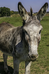 Mule (will139) Tags: mule equus equidae ass jackass jenny oddtoedungulate farm farmanimal livestock mammal field meadow pasture lea ruralindiana