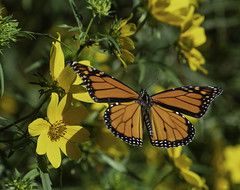 MonarchButterfly_SAF7181 (sara97) Tags: danausplexippus butterfly copyright©2018saraannefinke endangered missouri monarch monarchbutterfly nature photobysaraannefinke pollinator saintlouis towergrovepark