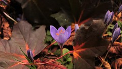 """"""" Just My Imagination ( running away with me ) """" (hope2029) Tags: yorkshire west meanwood macro crocus vivid winter flower leaves bright sunshine"""