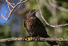 you've been spotted (jeff.white18) Tags: blackbird thrush bird nature portrait nikon wildlife feathers flickr