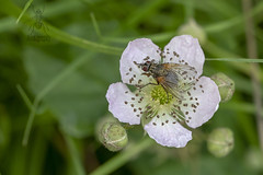 ♀ Phaonia angelicae (roderick smith) Tags: phaoniaangelicae fly diptera muscidae bramble flower hiltongravelpitsnaturereserve derbyshirewildlifetrust canon eos6dmkii ef100mmf28lmacro