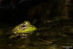A l'espera (Rosa Matesanz) Tags: granotaverda romanyàdelaselva digiscoping rosamatesanz natura naturaleza rana ranaverde pelophylaxperezi