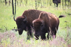Feeding on the grass (Sven Bonorden) Tags: buffalo animal blackhills custerstatepark southdakota grass green brown büffel bison tier gras herde wiese wald forest grün braun two zwei