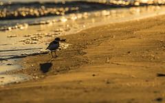 Plover at sunrise (mirosławkról) Tags: charadrius wildlife animal bird nature nikonnaturephotography 150600 sea water beach plover poland orange sunrise baltic hiaticula
