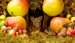 wild house mouse with autumn fruits apples and nuts (9) (Simon Dell Photography) Tags: wild garden house mouse nature animal cute funny fun moss covered log pile acorns nuts berries berrys fuit apple high detail rodent wildlife eye ears door home sheffield ul old english country s12 simon dell apples autumn fall winter fruits seasonal photography