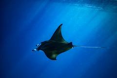 Cruisin' || LEI (David Marriott - Sydney) Tags: bogie queensland australia au lady elliot island great barrier reef manta ray underwater ikelite