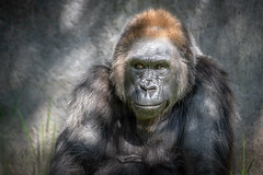 Gorilla Grandmother (helenehoffman) Tags: africa kamilah genome gorilla primate sandiegozoosafaripark conservationstatuscriticallyendangered animal dna ape gorillagorillagorilla westernlowland alittlebeauty specanimal goldcollection