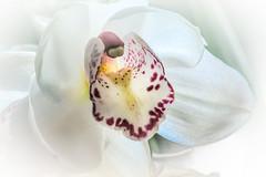 Cymbidium hybrid #3 (foto_morgana) Tags: belgique belgium belgië bloemen fleurs flowers lightroom macrophotography pottedplant topazstudio wemmel cymbidium highkey