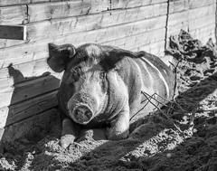 Sunbathing (totheforest) Tags: nikond7200 bälinge luleå norrbotten sweden blackandwhite bw svartvitt pig gris linderösvin autumn fall höst sunbathing bondgårdenbälinge sugga