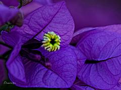 Close up (Anavicor) Tags: closeup macro cerca buganvilla purple violet morado lila porpora plant flor flower fiore blume detail detalle nikon d5300 tamron anavicor anavillar villarcorreroana tamron90mm quintaflower juevesdeflores thursday jueves donnerstag