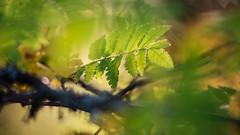 Rowan II (Zena Perture) Tags: autumn 2018 rowan ash nature ngc sweden outdoor nikon nikkor 80200 macro plant tree sun sunlight leaf