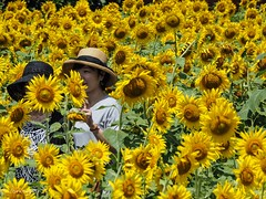 Sunflower field (Yorkey&Rin) Tags: 2018 august em5markii flower japan kanagawa kawasaki macro olympus olympusm14150mmf4056ii p8140049 rin summer sunflower sunflowerfield women ヒマワリ ヒマワリ畑 夏 女子達 川崎市 早野 八月 麻生区