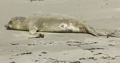 Weaner (Blazing Star 78613) Tags: piedrasblancascalifornia piedrasblancas california californiahwy1 hwy1 seal marinemammal elephantseal northernelephantseal californiacoast miroungaangustirostris
