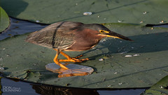 Green Heron (Butorides virescens) (Don Dunning) Tags: butoridesvirescens anahuacnwr animals birds canon7dmarkii canonef100400mmf4556lisiiusm chambers greenheron heron nationalwildliferefuge texas unitedstates